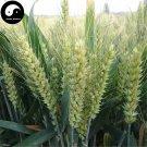 Buy Chinese Wheat Seeds 300pcs Plant Grain Triticum Aestivum For Food Xiao Mai