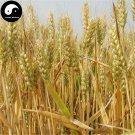 Buy Chinese Wheat Seeds 150pcs Plant Grain Triticum Aestivum For Food Xiao Mai