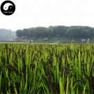 Buy Black Rice Seeds 600pcs Plant Grain Oryza Sativa For Food Paddy