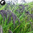 Buy Green Fragrant Rice Seeds 600pcs Plant Grain Oryza Sativa For Food Paddy