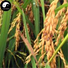 Buy Purple Fragrant Rice Seeds 300pcs Plant Grain Oryza Sativa For Food Paddy