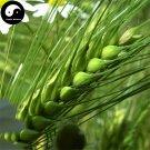 Buy Barley Seeds 150pcs Plant Grain Hordeum Vulgare For Food Da Mai