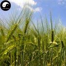 Buy Barley Seeds 600pcs Plant Grain Hordeum Vulgare For Food Da Mai