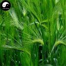 Buy Chinese Hulless Barley Seeds 300pcs Plant Grain Hordeum Vulgare For Food Qing Ke