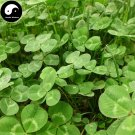 Buy Herb White Clover Seeds 500pcs Plant Trifolium Repens For Forage Grass