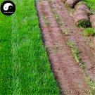 Buy Tall Fescue Grass Seeds 2000pcs Plant Evergreen Lawn Grass Festuca Ovina