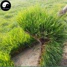 Buy Tall Fescue Grass Seeds 500pcs Plant Evergreen Lawn Grass Festuca Ovina