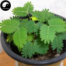 Buy Bashfulgrass Seeds 200pcs Plant Mimosa Pudica For Mimosa Grass