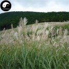 Buy Miscanthus Sinensis Seeds 800pcs Plant Grass Miscanthus Mang Cao