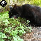 Buy Cat Eat Mint Seeds 400pcs Plant Herb Nepeta Cataria For Cat Food Peppermint