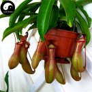 Buy Nepenthes Seeds 120pcs Plant Carnivorous Insectivorous Grass