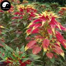 Buy Amaranthus Tricolor Seeds 100pcs Plant Color Leaf Grass Amaranthus
