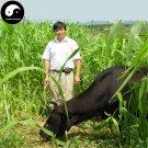 Buy Corngrass Seeds 500pcs Plant Herb Corn Grass Purus Frumentum Forage Grass