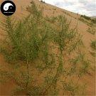 Buy Artemisia Desertorum Seeds 250pcs Plant Desert Forage Grass Artemisia