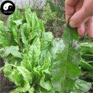 Buy Rumex Patientia Seeds 1000pcs Plant Forage Grass Rumex