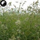 Buy Dactylis Glomerata Seeds 1000pcs Plant Forage Grass Dactylis Ya Mao Cao
