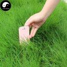 Buy Evergreen Grass Seeds 1000pcs Plant Evergreen Garden Lawn Grass