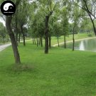 Buy Evergreen Low Cynodon Dactylon Grass Seeds 2000pcs Plant Lawn Grass Cynodon