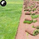 Buy Evergreen Low Cynodon Dactylon Grass Seeds 1000pcs Plant Lawn Grass Cynodon