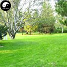 Buy Evergreen Low Cynodon Dactylon Grass Seeds 500pcs Plant Lawn Grass Cynodon