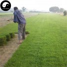 Buy Evergreen Zoysia Japonica Seeds 500pcs Plant Slope Protection Lawn Grass