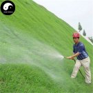 Buy Evergreen Zoysia Japonica Seeds 1000pcs Plant Slope Protection Lawn Grass