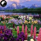 Buy Lupin Flower Seeds 240pcs Plant Garden Flowers Lupiuns Polyphyllus