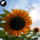 Buy Helianthus Annus Flower Seeds 150pcs Plant Chinese Sunflower Garden