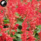 Buy Salvia Spendens Flower Seeds 50pcs Plant Chinese Red Flower Tropical Sage