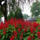 Buy Salvia Spendens Flower Seeds 200pcs Plant Chinese Red Flower Tropical Sage