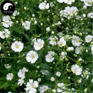 Buy Gypsophila Paniculata Flower Seeds 600pcs Plant Garden Flower Gypsophila