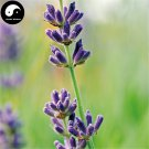 Buy Lavender Flower Seeds 250pcs Plant Purple Flower Lavender Garden