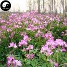 Buy Astragalus Sinicus Flower Seeds 300pcs Plant Purple Flower Astragalus