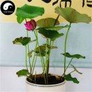 Buy Chinese Bowl Lotus Flower Seeds 20pcs Water Plant Flower Lotus