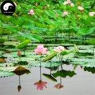 Buy Chinese Pond Lotus Flower Seeds 80pcs Water Plant Flower Nelumbo Lotus