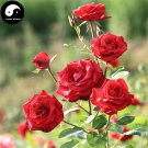 Buy Chinese Rose Tree Seeds 400pcs Plant Flower Red Rosa Rugosa