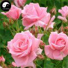 Buy Chinese Rose Tree Seeds 400pcs Plant Flower Pink Rosa Rugosa