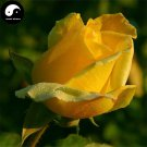 Buy Chinese Rose Tree Seeds 100pcs Plant Flower Yellow Rosa Rugosa