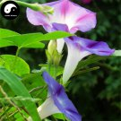 Buy Morning Glory Flower Seeds 120pcs Plant Chinese Pharbitis Nil Flower Garden