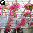 Buy Morning Glory Flower Seeds 60pcs Plant Pink Pharbitis Nil Flower Garden