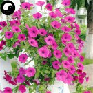 Buy Morning Glory Flower Seeds 120pcs Plant Pink Pharbitis Nil Flower Garden