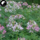Buy Cleome Spinosa Flower Seeds 200pcs Plant Blue Flower Garden Cleome Spinosa