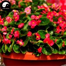 Buy Begonia Semperflorens Flower Seeds 120pcs Plant Flower Garden Begonia