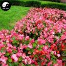 Buy Begonia Semperflorens Flower Seeds 240pcs Plant Flower Garden Begonia