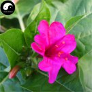 Buy Mirabilis Jalapa Flower Seeds 60pcs Plant Flower Garden Mirabilis Jalapa