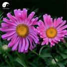 Buy Pink Callistephus Flower Seeds 200pcs Plant Flower Callistephus Chinensis