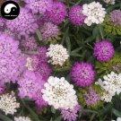 Buy Lberis Amara Flower Seeds 100pcs Plant Mix Color Flower Lberis Amara