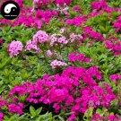 Buy Phlox Flower Seeds 180pcs Plant Phlox Flower Phlox Drummondii
