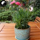 Buy Perpetual Carnation Flower Seeds 90pcs Plant Dianthus Caryophyllus Flower