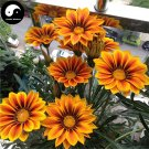 Buy Medal Chrysanthemum Flower Seeds 240pcs Plant Gazania Rigens Flower Garden
